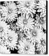 Garden Mums Canvas Print by Ryan Kelly