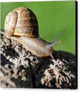Garden Snail Canvas Print