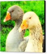 Geese Have Strong Affections For Others In Their Group Canvas Print