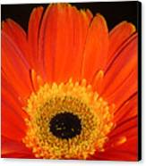 Gerbera Daisy - Glowing In The Dark Canvas Print