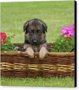 German Shepherd Puppy In Basket Canvas Print by Sandy Keeton