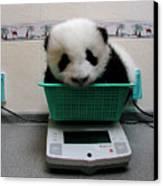 Giant Panda Ailuropoda Melanoleuca Baby Canvas Print by Katherine Feng