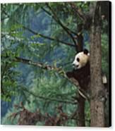 Giant Panda Ailuropoda Melanoleuca Canvas Print by Cyril Ruoso