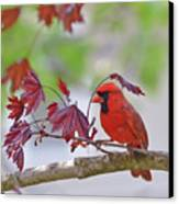 Give Me Shelter - Male Cardinal Canvas Print by Kerri Farley