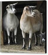 Goat Trio Canvas Print