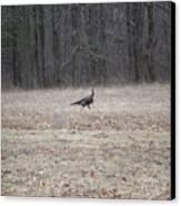 Gobbler Running Across The Field Canvas Print