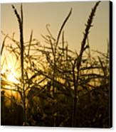Golden Corn Canvas Print