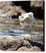 Golden Plover Canvas Print