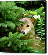 Golden Red Wolf Canvas Print by Debra     Vatalaro