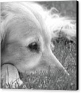 Golden Retriever Dog In The Cool Grass Monochrome Canvas Print