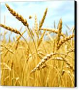 Grain Field Canvas Print by Elena Elisseeva