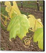 Grape Leaves At Fess Parker Canvas Print