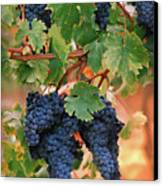 Grapes Of Tuscany Canvas Print by Dallas Clites