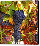 Grapes On Vine In Vineyards Canvas Print by Garry Gay