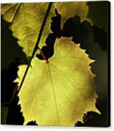Grapevine In The Back Lighting Canvas Print by Michal Boubin