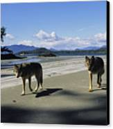 Gray Wolves On Beach Canvas Print by Joel Sartore