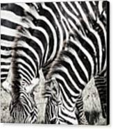 Grazing Zebras Close Up Canvas Print