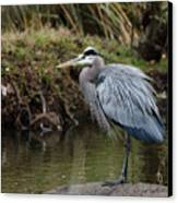 Great Blue Heron On The Watch Canvas Print by George Randy Bass