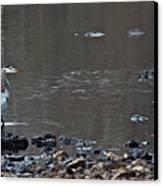 Great Blue Heron Wading 1 Canvas Print