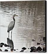 Great Blue Heron Wading 2 Canvas Print by Douglas Barnett