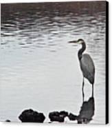 Great Blue Heron Wading 3 Canvas Print by Douglas Barnett