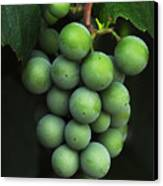 Green Grapes Canvas Print by Marion McCristall