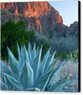 Green Gulch Agave Canvas Print