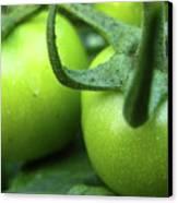 Green Tomatoes No.3 Canvas Print