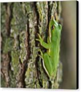 Green Tree Frog Thinking Canvas Print by Douglas Barnett
