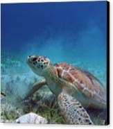 Green Turtle Canvas Print by Kimberly Mohlenhoff