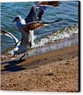 Gull Fight Canvas Print
