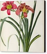 Hemerocallis Fulva Canvas Print by Pierre Joseph Redoute