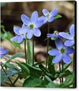 Hepatica Blue Canvas Print by Lori Frisch