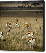 Herd Of Antelope Canvas Print by Darcy Michaelchuk