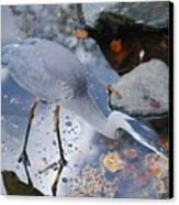 Heron Fishing Photograph Canvas Print