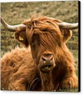 Highland Cow Color Canvas Print by Justin Albrecht