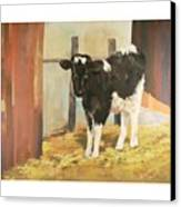 Holstein Calf Canvas Print
