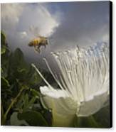 Honey Bee Apis Mellifera Approaching Canvas Print by Mark Moffett