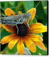 Hopper On Black Susan Flower Canvas Print