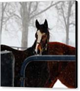 Horse In A Snowstorm Canvas Print
