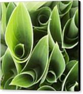 Hostas 5 Canvas Print by Anna Villarreal Garbis