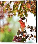 House Finch Hanging Around Canvas Print