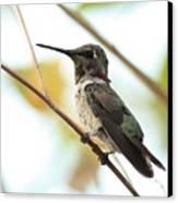 Hummingbird Between Branches Canvas Print