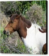 Hungry Horse - Assateague Island - Maryland Canvas Print