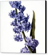 Hyacinth Canvas Print by Granger