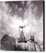Ibex -the Wild Mountain Goats In The El Torcal Mountains Spain Canvas Print