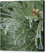 Iced Pine Canvas Print
