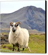 Icelandic Sheep Canvas Print
