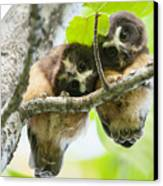 Impossibly Cute Owl Fledglings Canvas Print