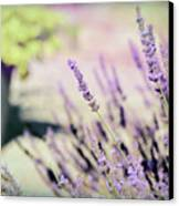 In Love With Lavender Canvas Print